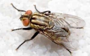 cara membasmi lalat dirumah