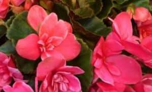 Elatior Begonia