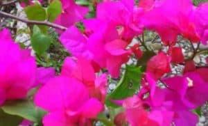 Bunga Kertas atau Bugenvil