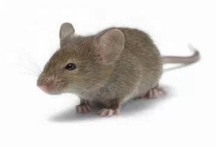 12 Cara Mengusir Tikus Di Rumah Dengan Cepat Serta Paling Ampuh