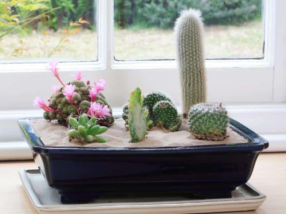 12 Manfaat Kaktus Dalam Ruangan Dan Cara Peletakannya