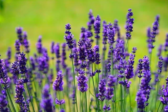 Cara Menanam Lavender di Taman Rumah