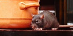 membasmi tikus