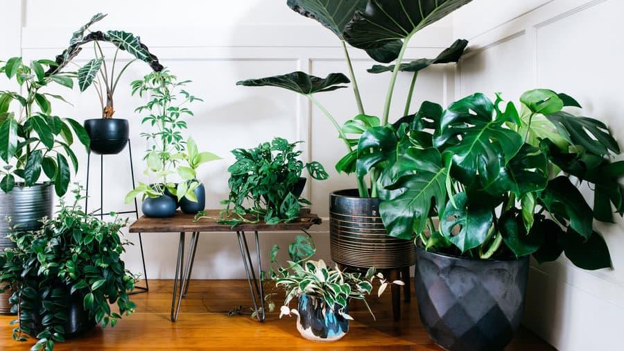 tanaman hias perawatan