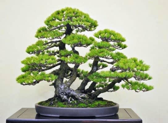10 Jenis Tanaman Bonsai pada Hunian