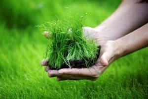 menanam rumput jepang