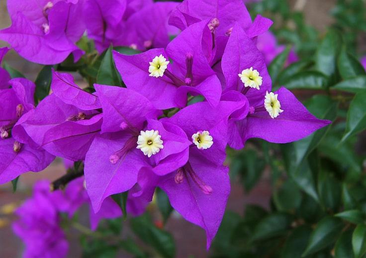 Bunga Bougainvillea