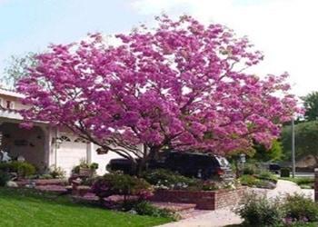 9 Pohon Rindang untuk Rumah Minimalis Sebagai Peneduh