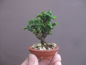 Cara Membuat Bonsai Mini