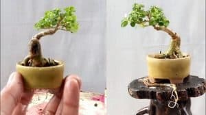 Cara Membuat Bonsai Mini